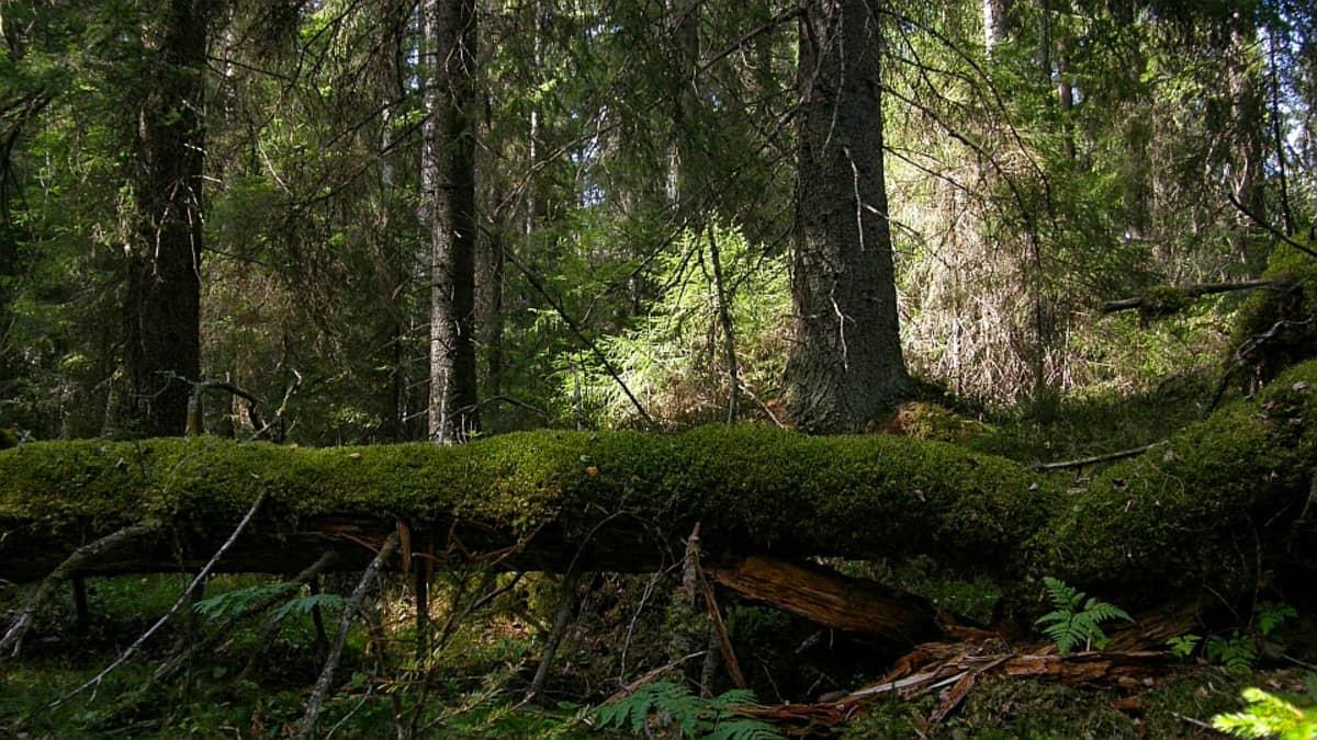 Vanhaa metsää Helvetinjärven kansallispuistossa.