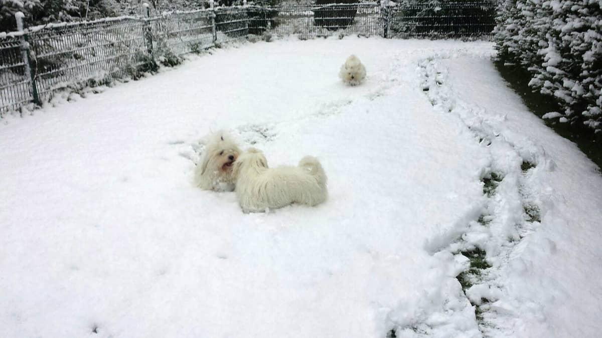 Kolme koiraa leikkii ensilumessa pihalla