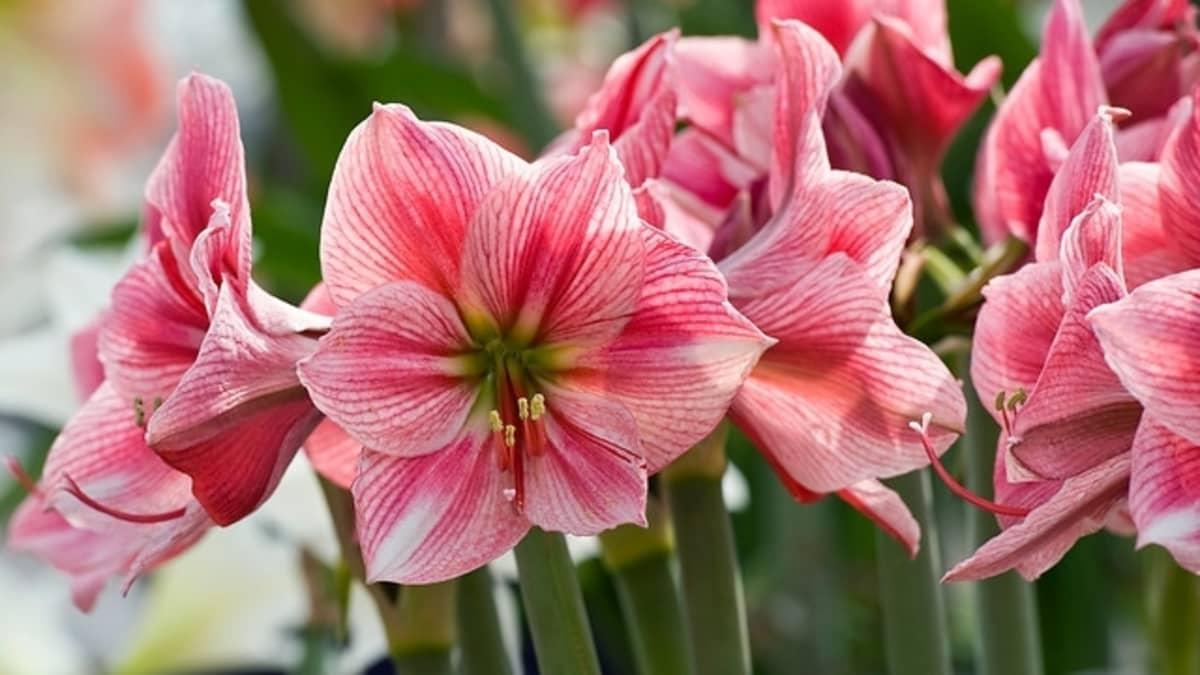 Ritarinkukkaa kutsutaan usein nimellä amaryllis.