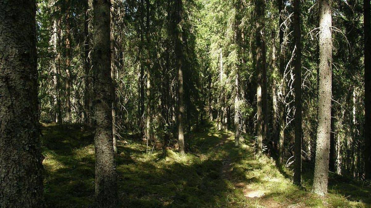 Kesäistä kuusimetsää Hämeenlinnassa Evolla.