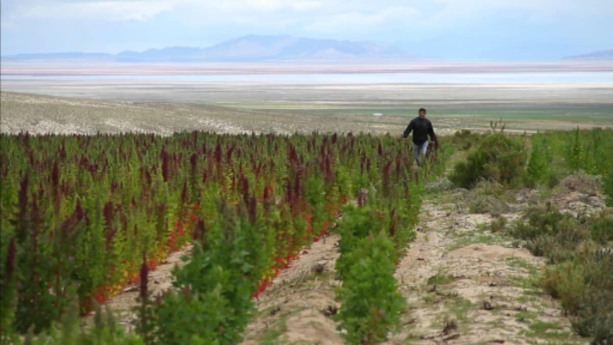 Kvinoa kasvaa Andien rinteillä Bolivian suuren suola-aavikon liepeillä. Bolivia ja Peru tuottavat valtaosan maailman kvinoasta.