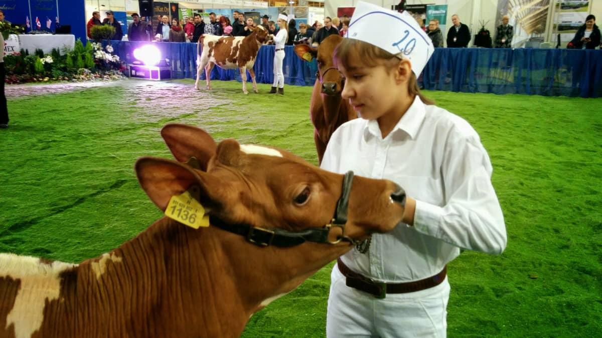 Josefina Kavander osallistui Lemmi-lehmän kanssa Junior handler -kilpailuun.