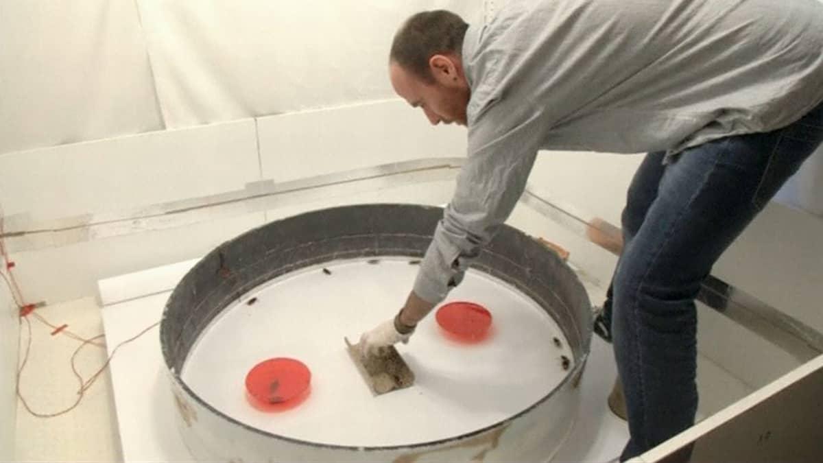 Tutkijaryhmän johtaja Issac Planas asettamassa torakoita tutkimusalustalle.