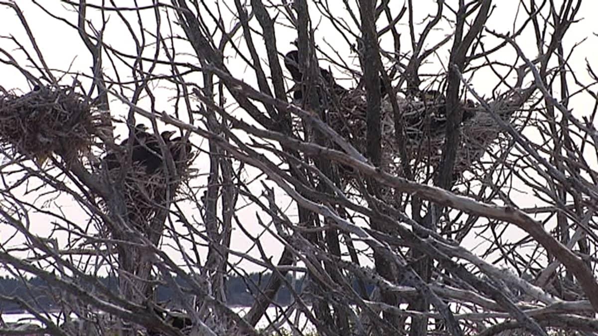 Merimetson pesiä poikasineen luodon pensaissa.