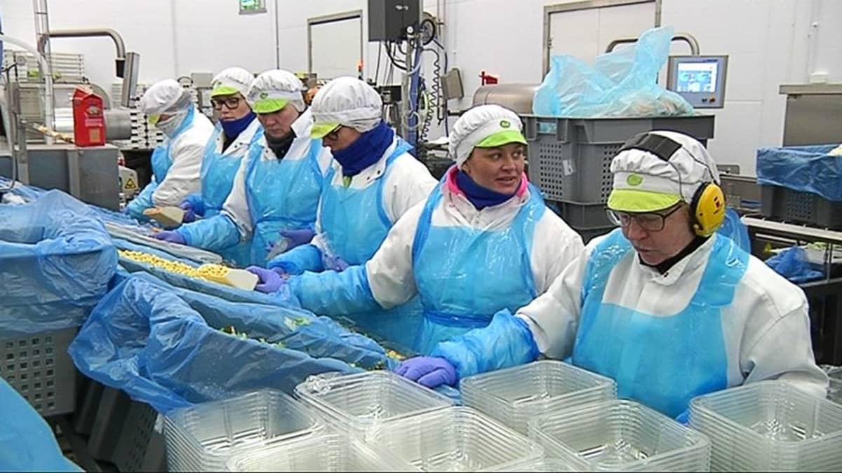 Työntekijät pakkaavat salaattia.