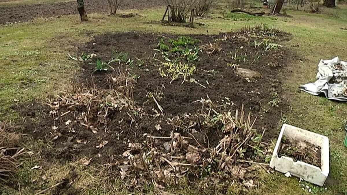 Villisikojen tuhoja Marttilan kylässä Lappeenrannassa.