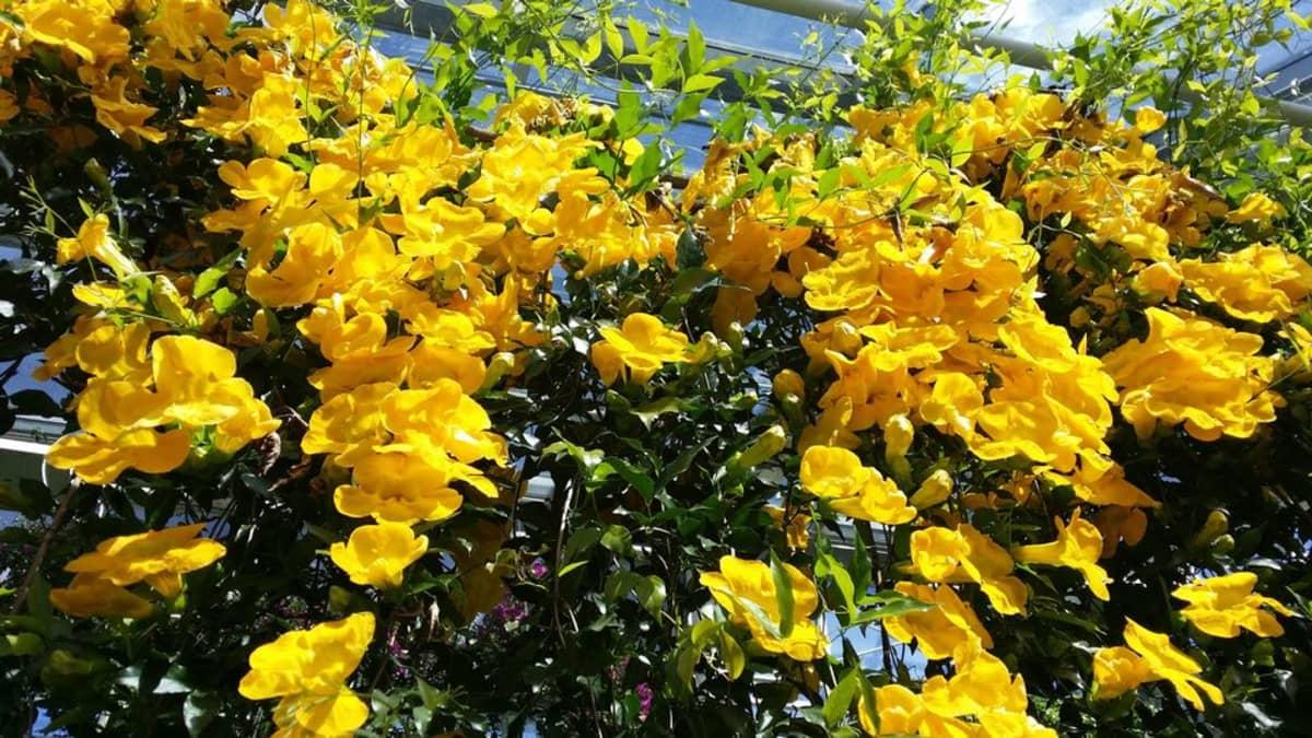 Kissantrumpettiseinämä kukassa kasvihuoneessa