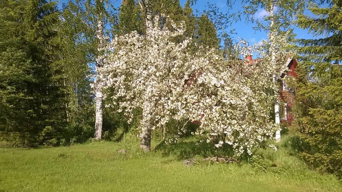 Kuvassa kukkiva omenapuu, koivuja taustalla häämöttää punainen talo