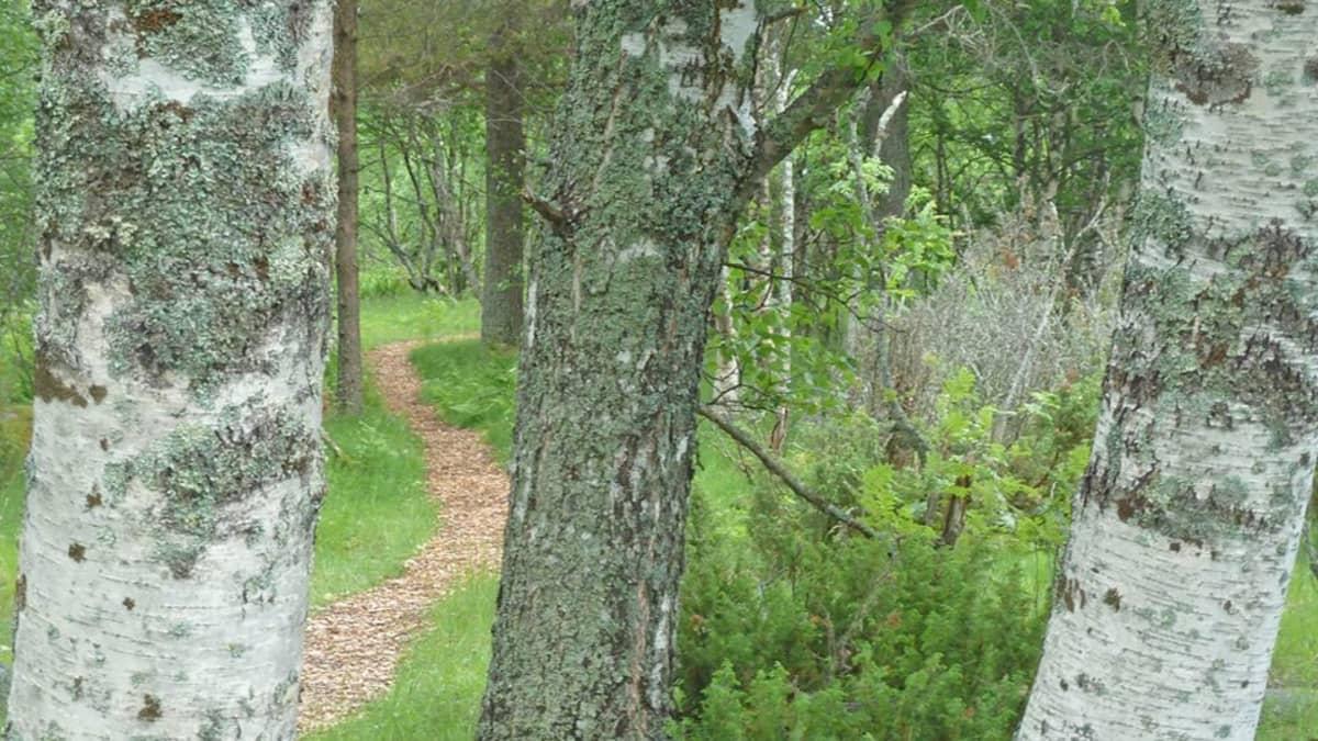 sekametsä, koivu, mänty, metsäpolku, polku