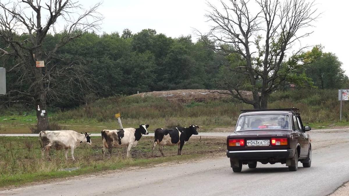 Lada ja lehmät.