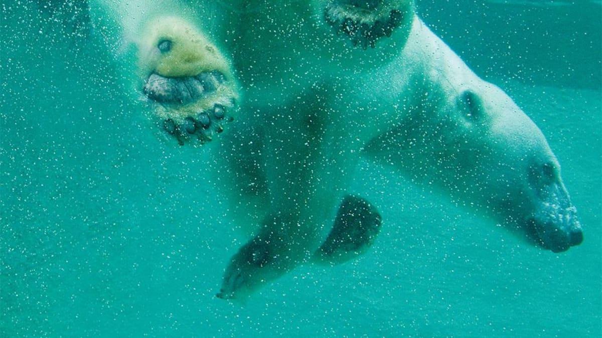 Jääkarhu sukeltaa vedessä.