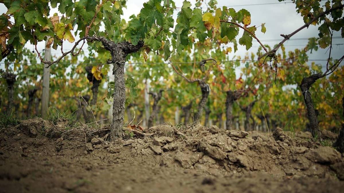 Rautalangoilla tuettuja viiniköynnöksiä.