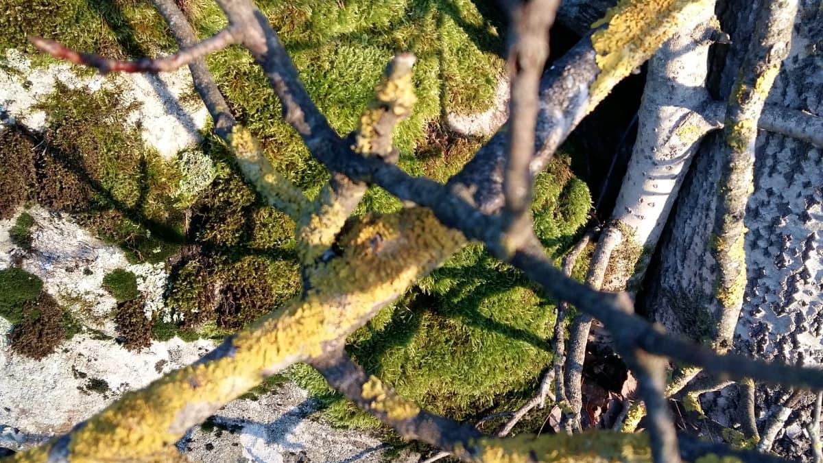sammalta ja puun oksia