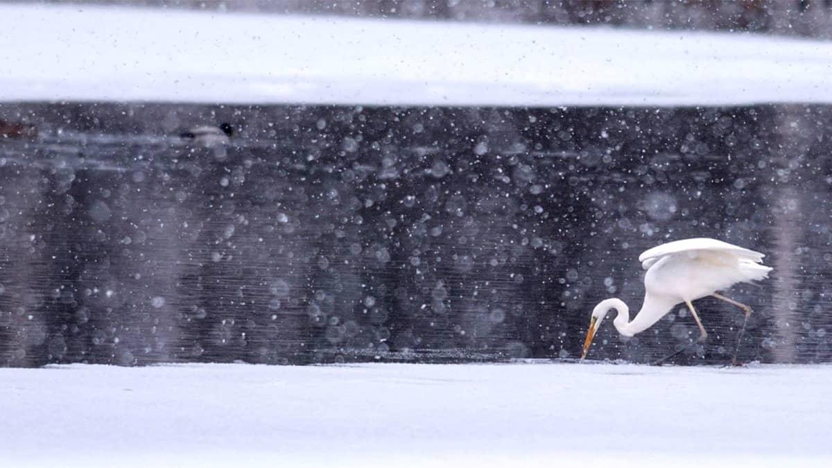 Jalohaikara talvisella joella kalastamassa