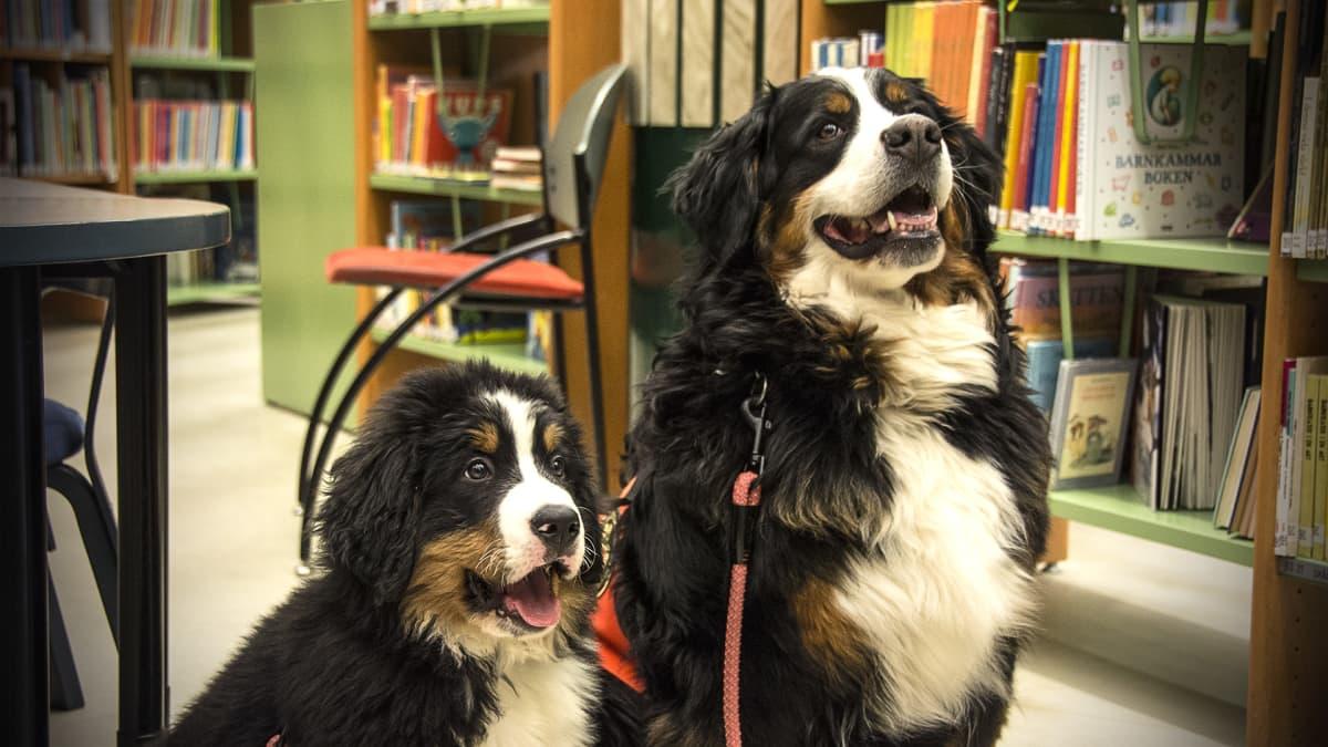 Kaksi koiraa kirjastossa.