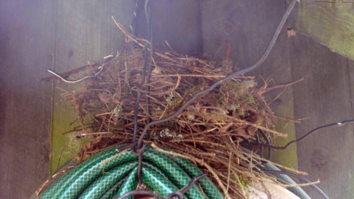 Linnunpesä puutarhaletkun päällä