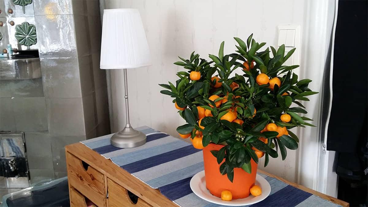 Appelsiinipuu lipaston päällä, vieressä pöytälamppu.