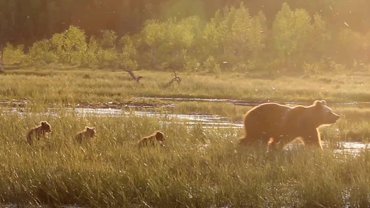 Karhu kolmen pennun kanssa suolla Kuusamossa