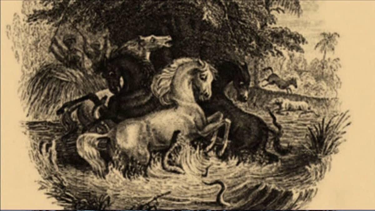Mustavalkoisessa piirroksessa kaksi mustaa ja kaksi valkoista hätääntyneen näköistä hevosta  seisoo vedessä. Sähköankeriaat hyppivät niiden kimppuun. Taustalla näkyy kaksi pakenevaa hevosta, tummia ihmishahmoja ja viidakkoa.
