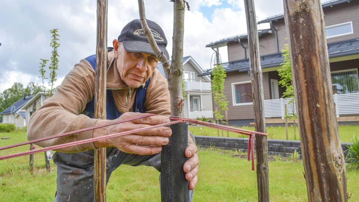 Omakotitaloalueen asukas tutkii omenapuun suojausta.