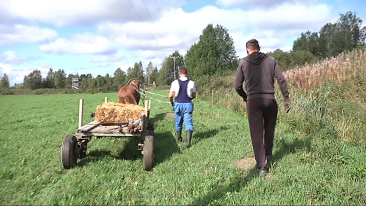 Hevonen ei turmele peltoa, kun esimerkiksi aitaa kerätään.