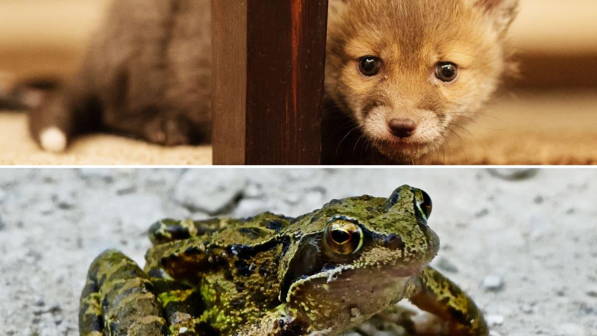 Söpö pörröinen eläin ja sammakko.