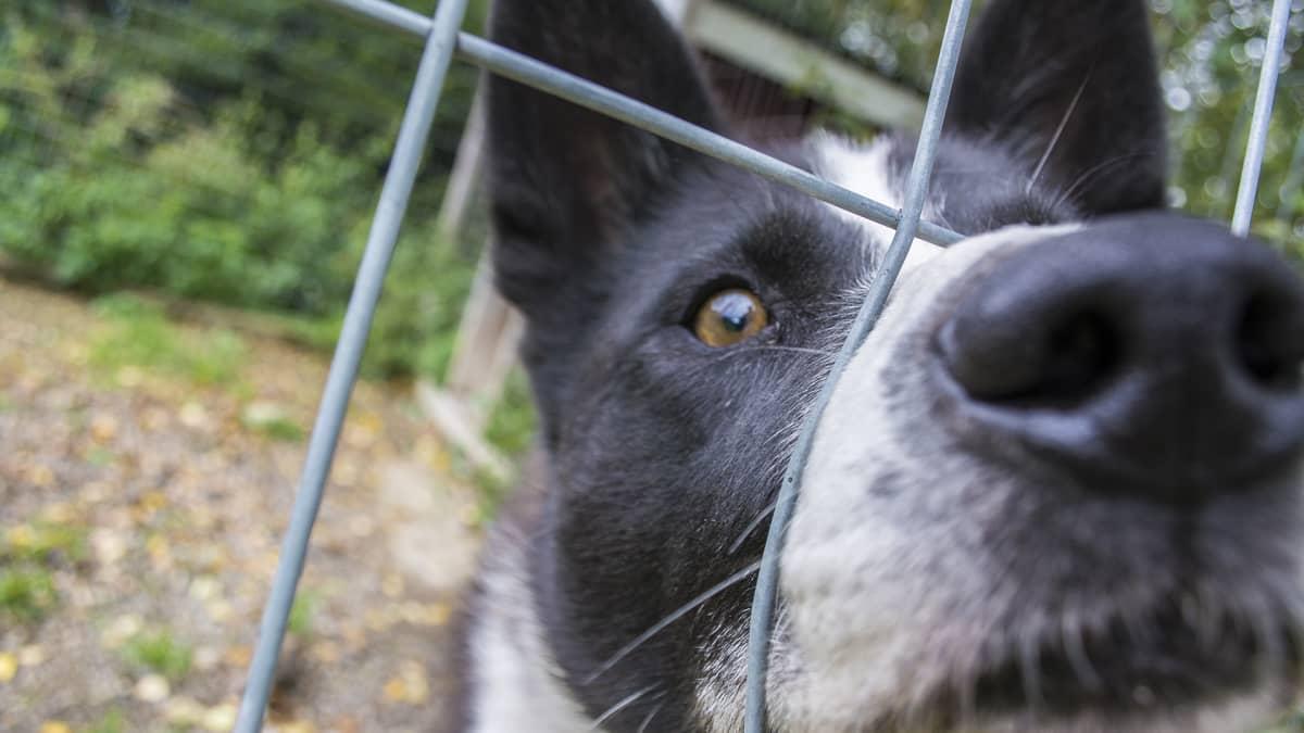 Koira katsoo lähikuvassa kameraan työntäen kuononsa koiraverkon reikään.