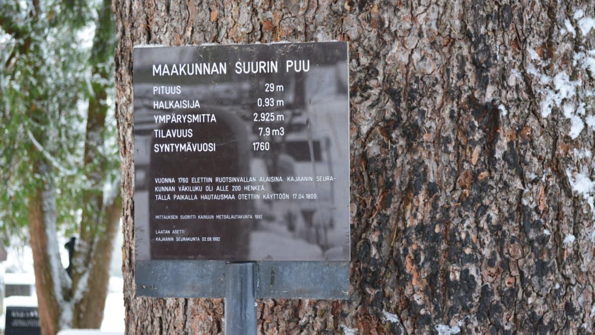 Kainuun suurimman puun luona oleva kyltti.