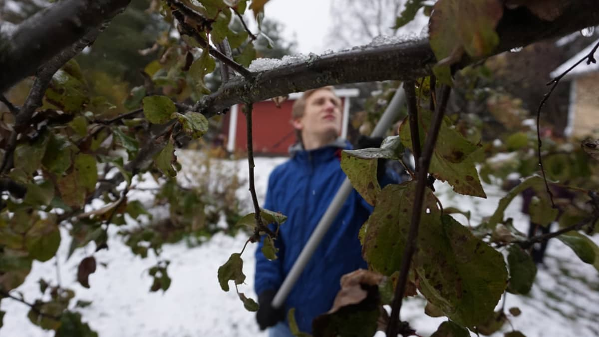 Arttu poimii omenoita