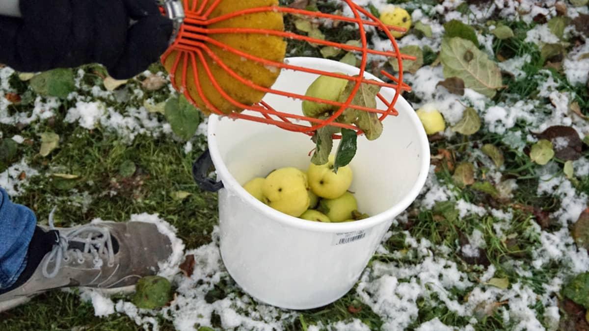 Omenoita ämpärissä