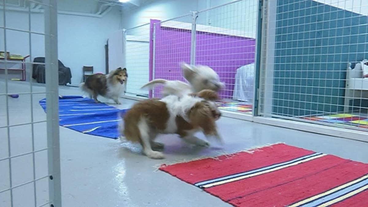 Leo, Sulo ja Siiri leikkivät koirien päiväkodissa.