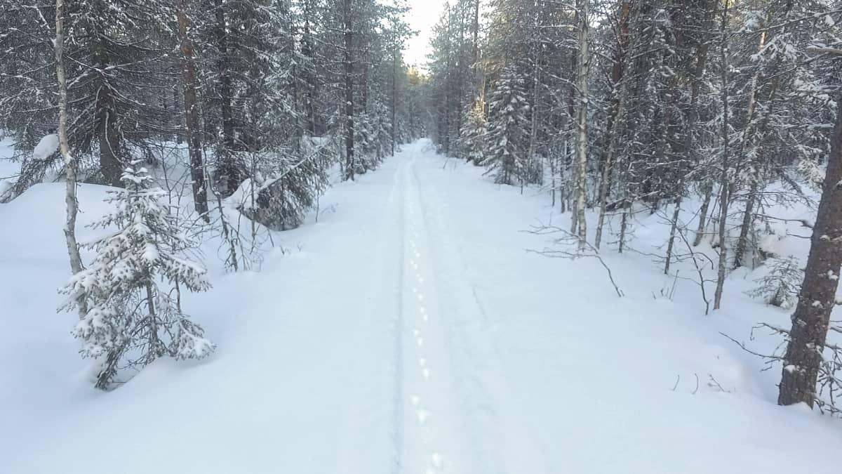 Luminen metsätie, jossa kulkujälkiä.