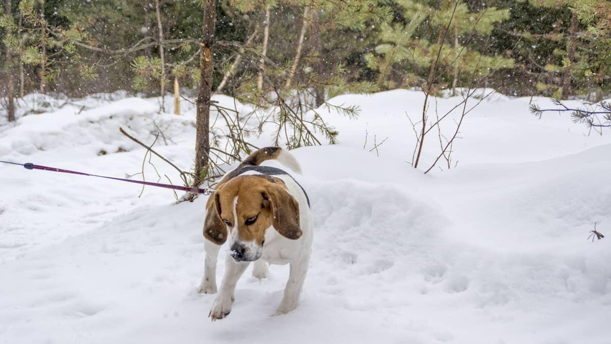 Beagle lumessa