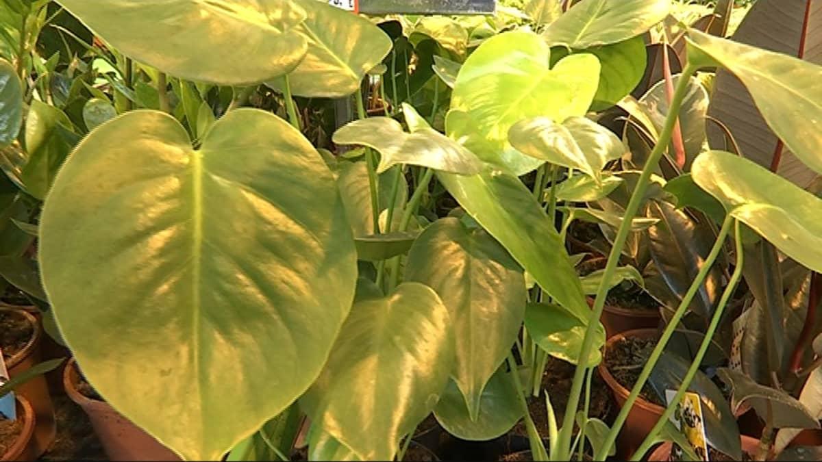 Tänä keväänä muotia ovat vanhanajan perinteiset viherkasvit, kuten suomalaiseen kansanluonteeseen hyvin istuva peikonlehti, joka on kotoisin Keski- ja Etelä-Amerikan sademetsistä.