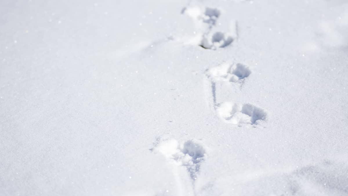 Suden jälkiä lumella