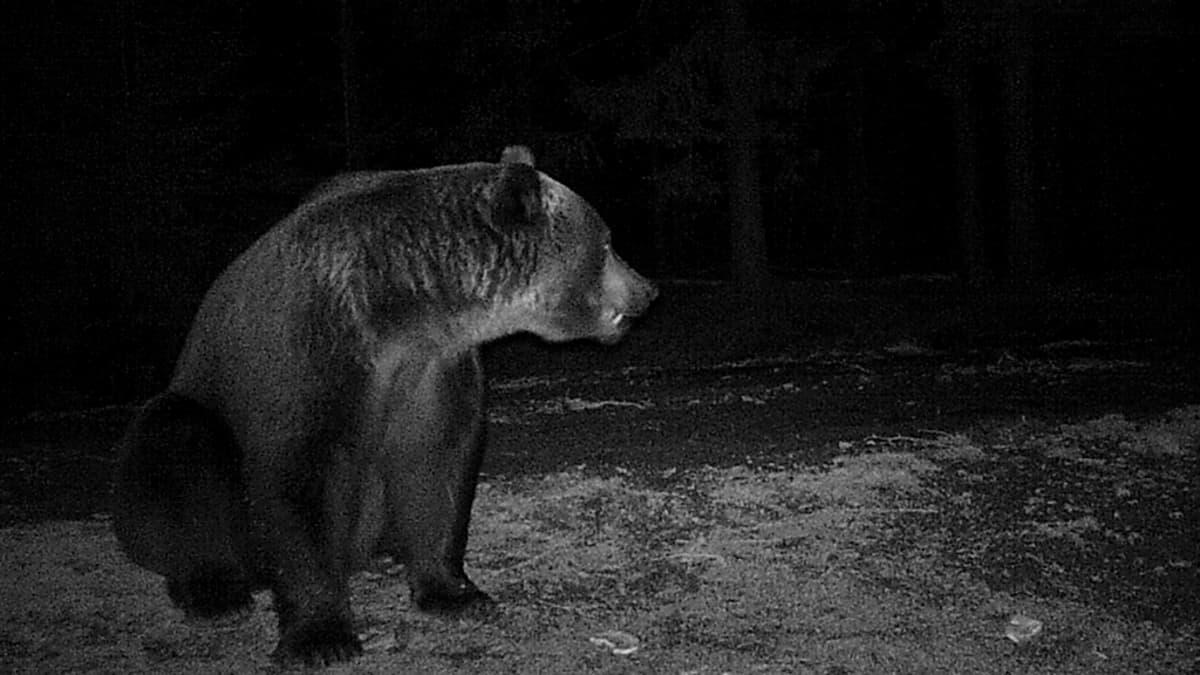 Karhut käyvät myös villisikojen ruokintapaikoilla