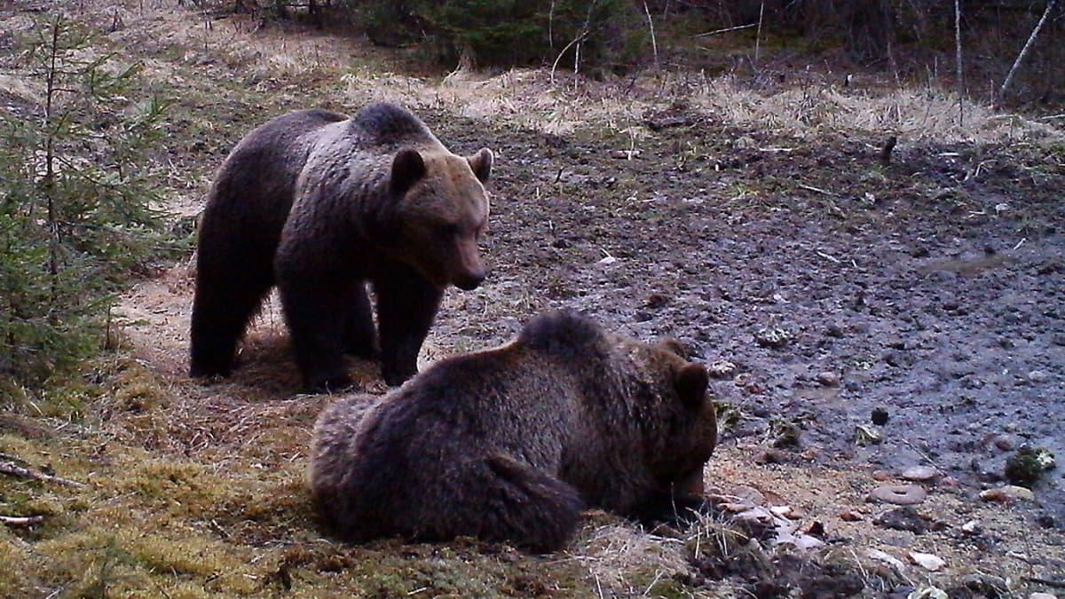 Karhuja villisian ruokintapaikalla