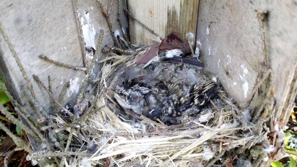 Avatussa pöntössä on pesä, jossa kuolleet linnunpoikaset.