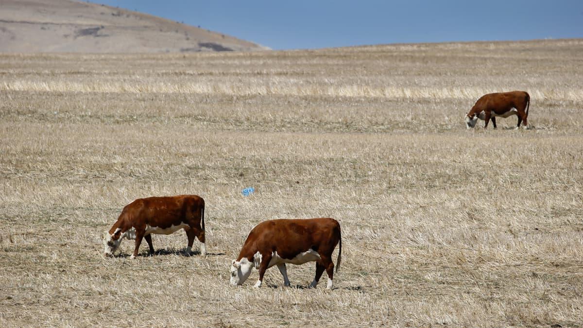 Lehmät laiduntavat kuivalla niityllä Cape Townissa Etelä-Afrikassa.