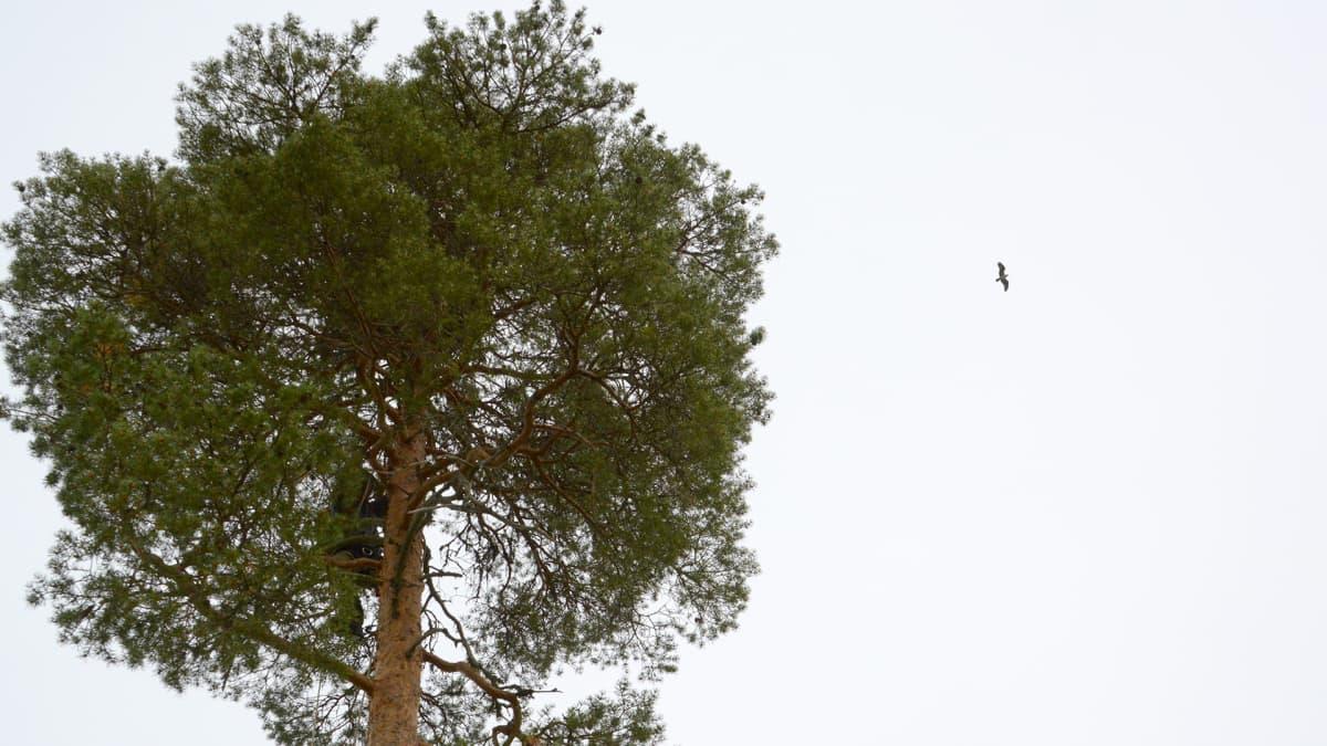 Matti Suopajärvi kiipeämässä puuhun, kalasääskiemo kiertelee taustalla.