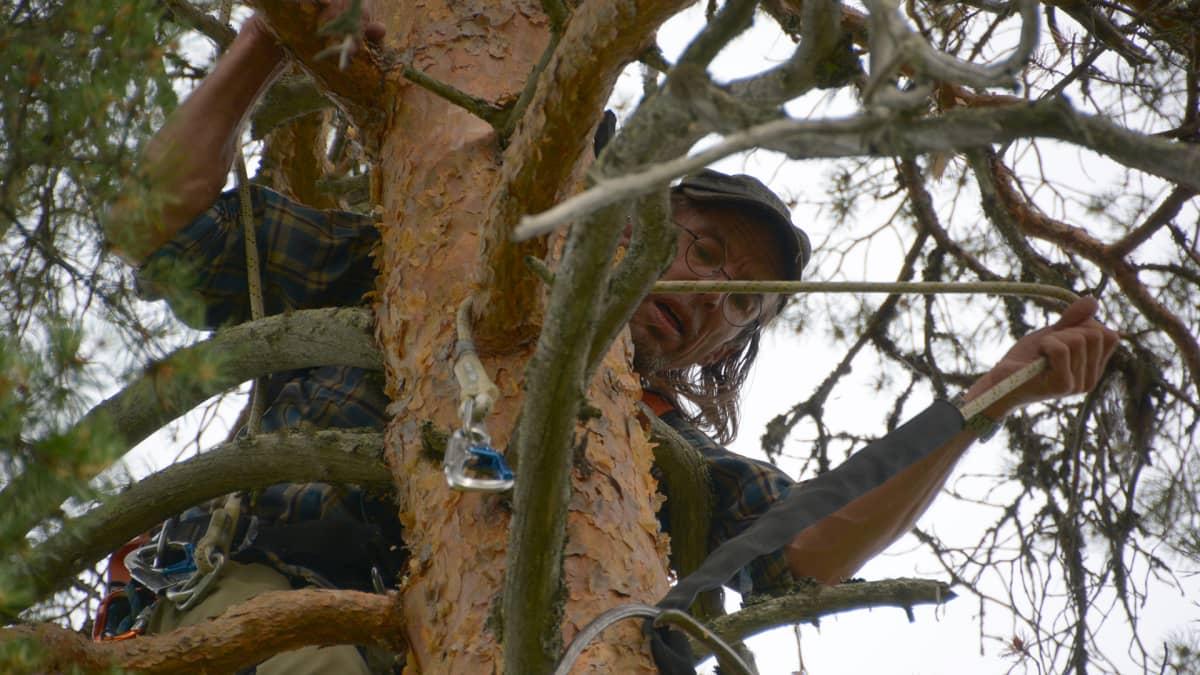 Matti Suopajärvi kiipeämässä kalasääsken pesäpuuhun.