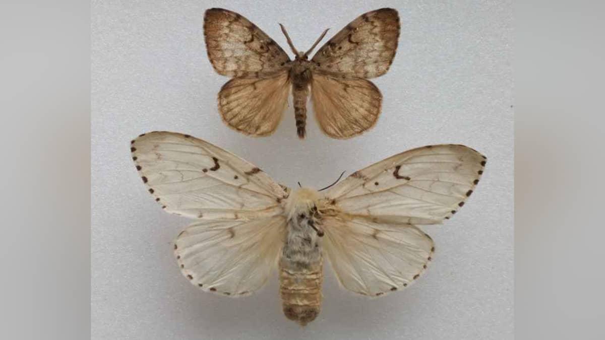 Lehtinunna (Lymantria dispar).