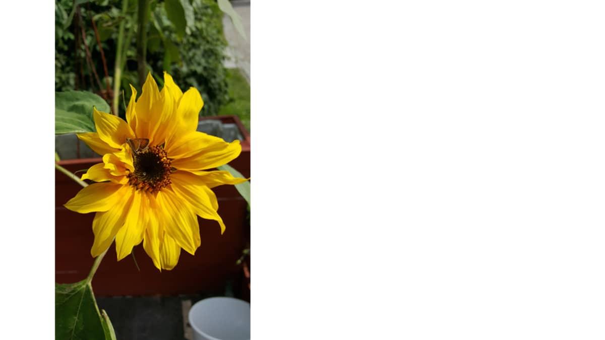 Amatöörikuvaajan otos kukasta.
