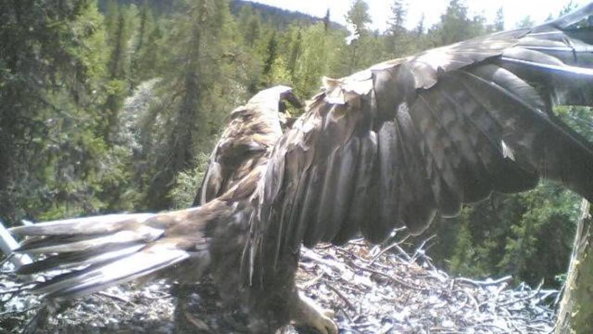 Kotka pesällään Pudasjärvellä 2005.