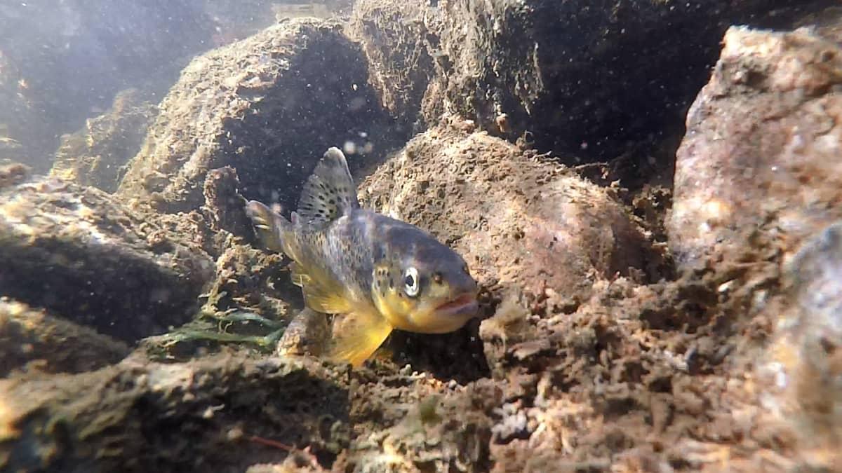 Järvitaimenen poikanen veden alta kuvattuna.