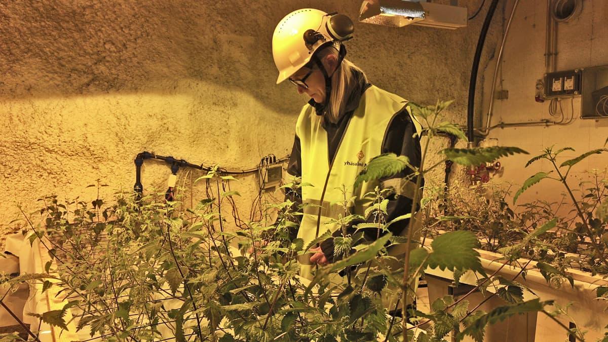 Outi Holappa katselee nokkosviljelmää Pyhäsalmen kaivoksen kasvuhuoneessa