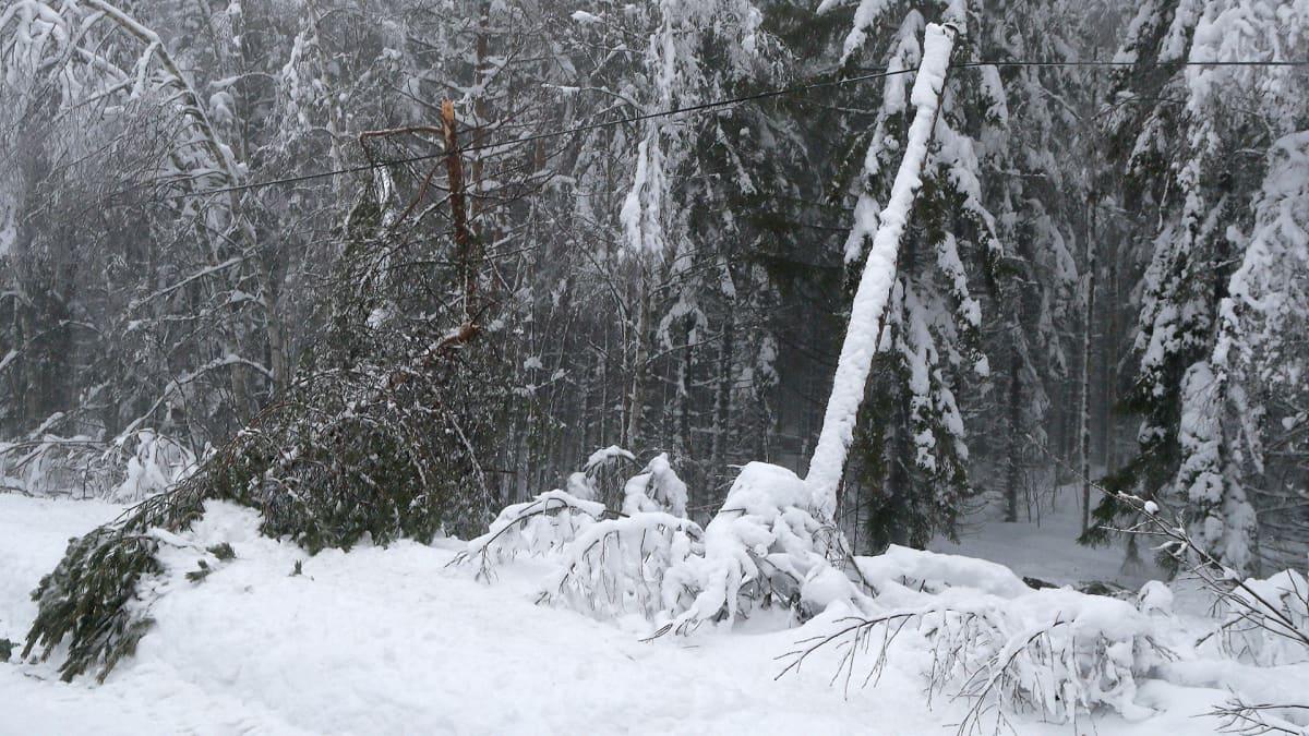 Puita kaatunut tykkylumen painosta sähkölinjoille Kontiolahdella.