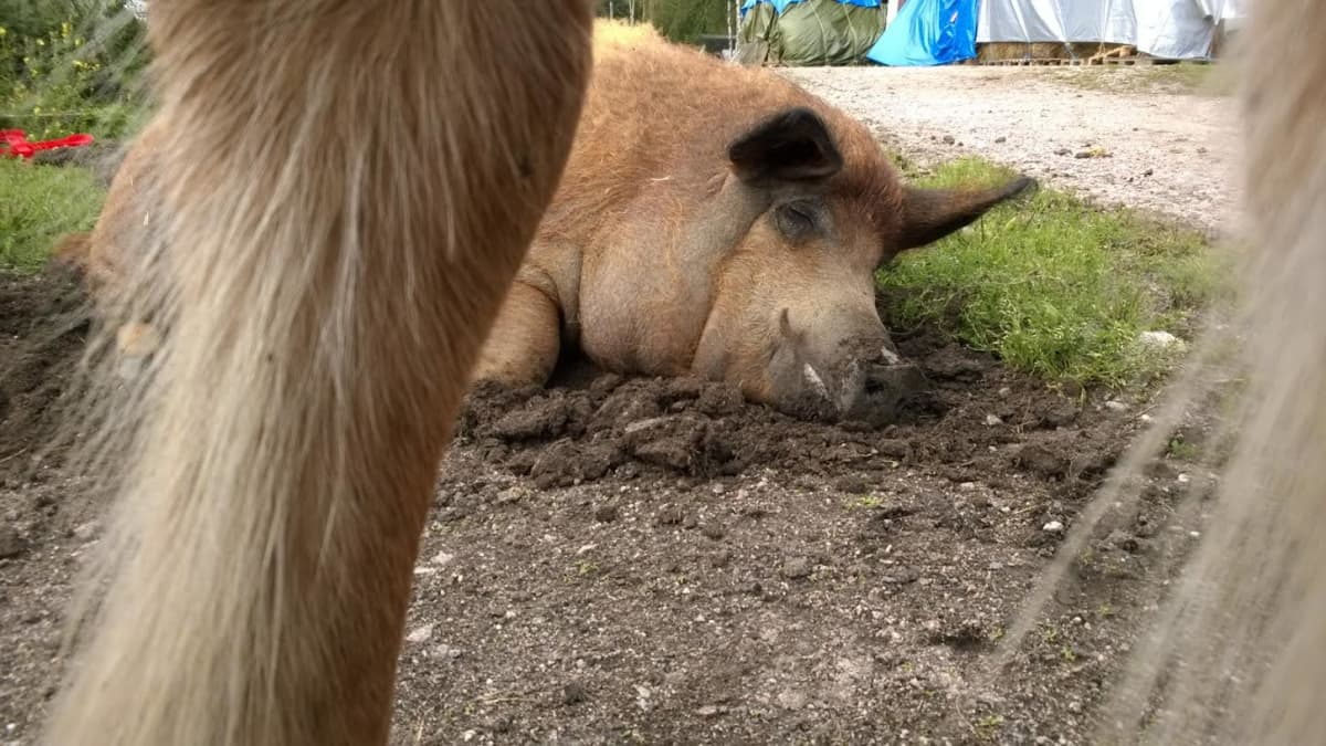 Sika makoilee hevosen jalkojen juuressa.