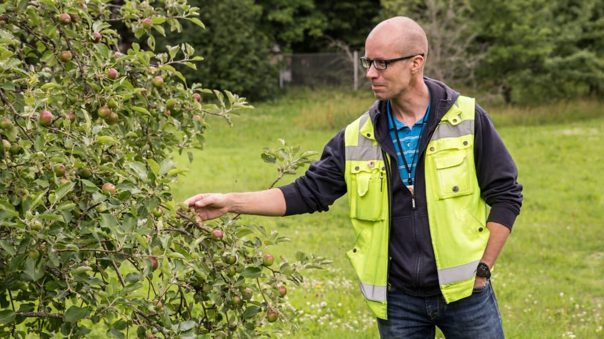 Mies tutkailee omenapuun oksaa