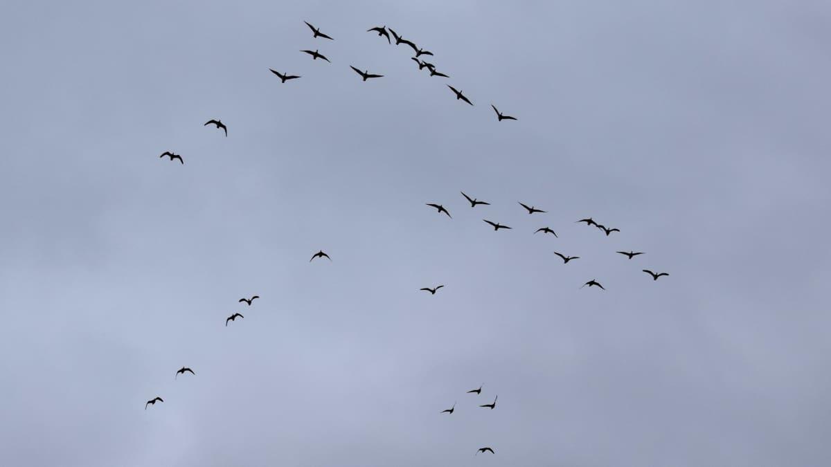lintuja parvena taivaalla